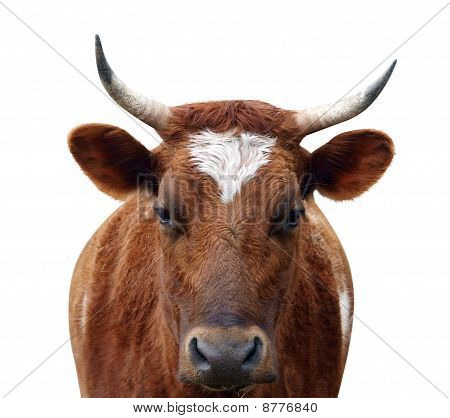 Ayrshire Cow With Horns
