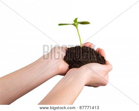 Woman hands holding young plant with green leaves, isolated on white background. Concept of new life and environment