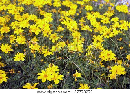 Yellow Flowers Called Bidens In Spring
