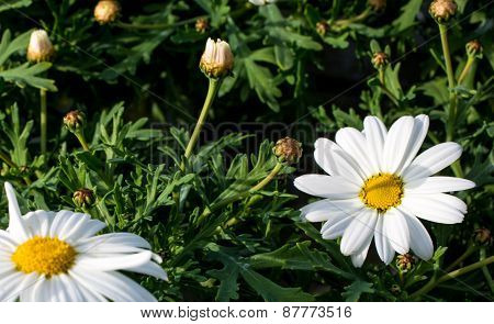 Meadow Of White Daisies In Spring