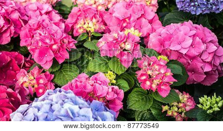 Big Pink And Cyan Hortensia In Greenhouse