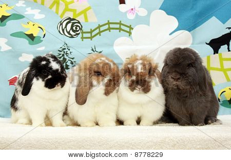 Holland Lop Family Portrait