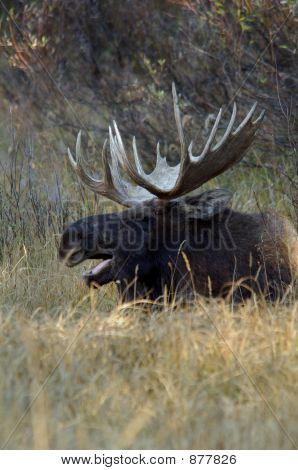 Moose Yawning