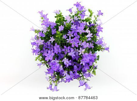 Potted Campanula Portenschlagiana Isolated On White Background