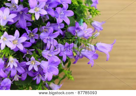 Potted Campanula Portenschlagiana On Wooden Background