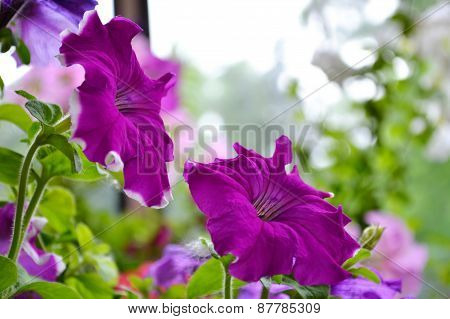 Two purple petunias in the garden closeup