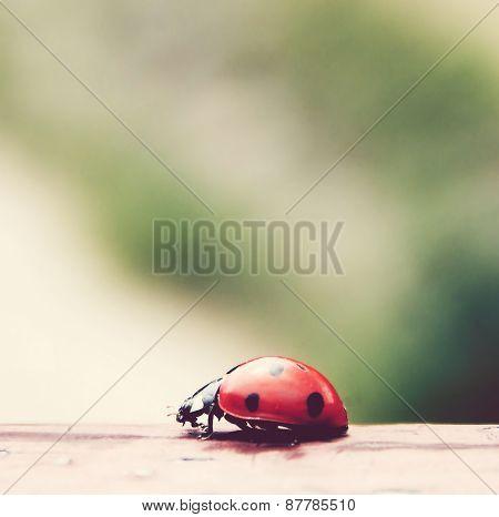A beautiful ladybug closeup