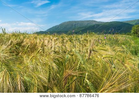 Field Of Rye In Serbia