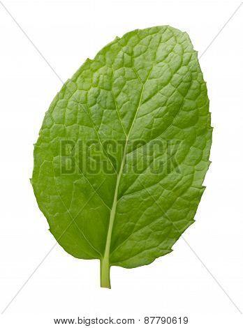 Single Fresh Mint Leaf