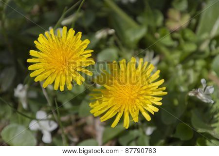 Two Bright Yellow Dandilions