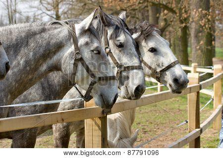 piebald horses