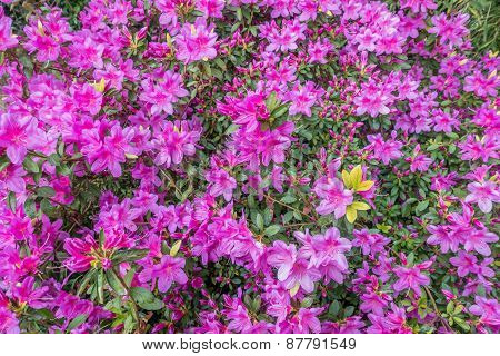 Magenta Azaleas - Background