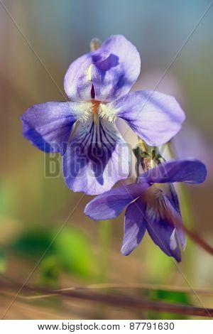 Soft focus close-up of wild blue primrose flower