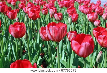 Many Red Tulips In A Flowerbed