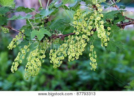 Blossoming Branch Of Red Currants