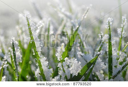 Frozen green grass close up. Nature background.