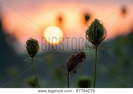 Herb silhouettes at sunrise
