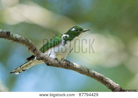 Klaas's Cuckoo (chrysococcyx Klaas) Perched On A Branch