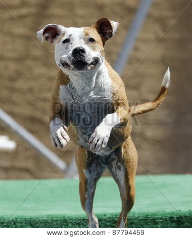 Happy dog jumping into the pool