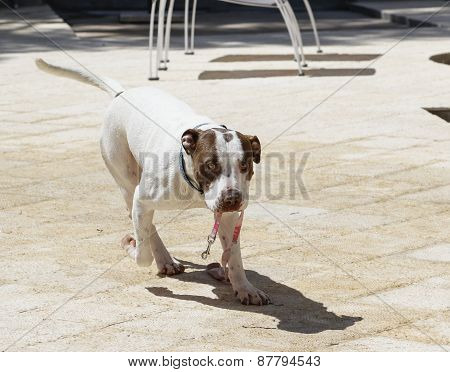 Dog carrying his own leash