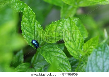 A metallic blue Mint Beetle (Chrysolina coerulans) on spearmint leaves in the garden