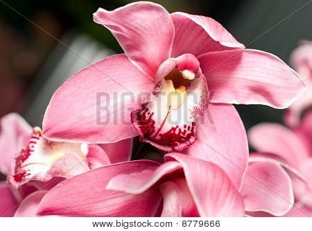 Pink Orchid Or Cymbidium Flower