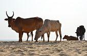 stock photo of sea cow  - Cows on Agonda beach of South Goa - JPG