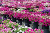 picture of petunia  - Beautiful petunia blooming in garden - JPG