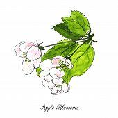 foto of apple blossom  - spring flowers of apple tree - JPG