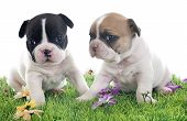 foto of french bulldog puppy  - puppies french bulldog in front of white background - JPG