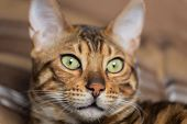 image of cat-tail  - Cat Bengal breed - JPG