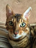 pic of cat-tail  - Cat Bengal breed - JPG