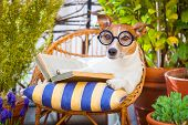 picture of couch potato  - jack russell dog reading his favorite booksurrounded by green plants relaxing and sitting on a lounger or deck chair outside - JPG