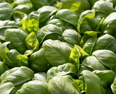 image of basil leaves  - large green aromatic Mediterranean basil leaves all close together - JPG