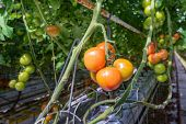 foto of horticulture  - Tomatoes in different colors and stages of growth growing on substrate at tied plants in a large specialized Dutch greenhouse horticulture company - JPG