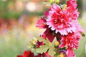 foto of hollyhock  - Red hollyhock flowers - JPG