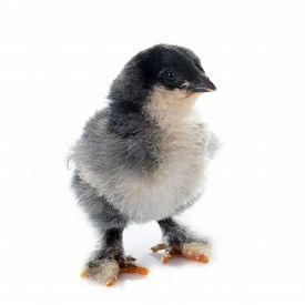 stock photo of brahma  - brahma chick in front of white background - JPG