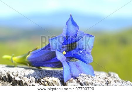 Blue flower of gentiana alpina
