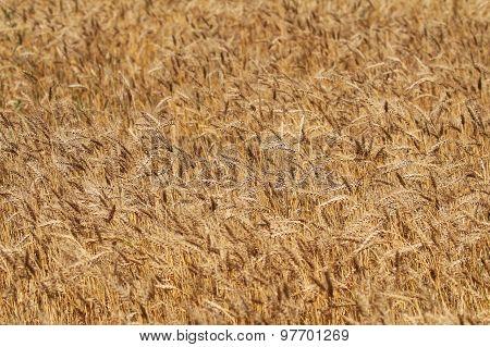 Backdrop Of Ripening Ears Of Yellow Rye Field