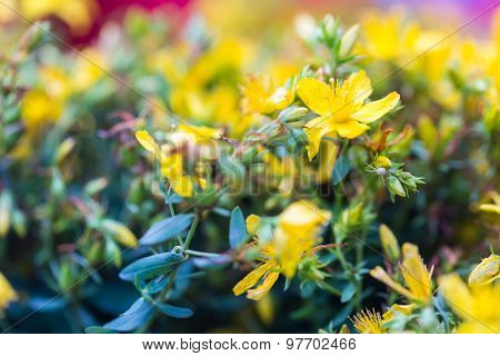 saint james wort flowers