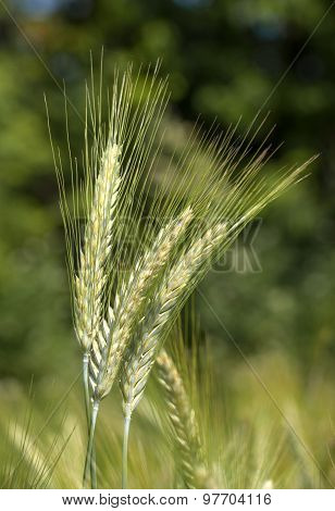 Green rye in close-up