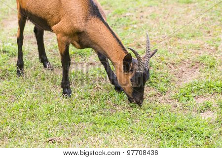 Goat On Pasture. Animals On Farm