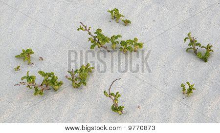 Shoots Of Ramanas Rose (rosa Rugosa) On A Dune On The Island Of Sylt, Germany