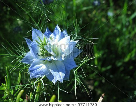 A blue flowering love in a mist