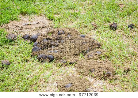 Horse Excrement On Green Grass