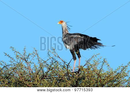 A secretary bird (Sagittarius serpentarius) perched on top of a tree, Kalahari, South Africa