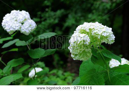 Bloooming Guelder rose bush