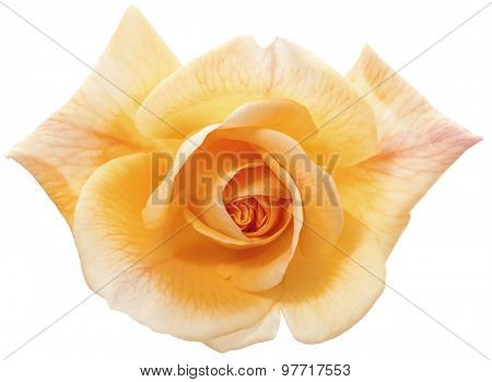 apricot colored rose blossom isolated with clipping path