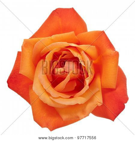 vibrant orange rose blossom isolated with clipping path