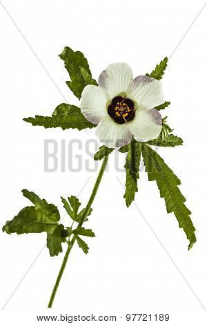 Flower Of Hibiscus, Isolated On White Background